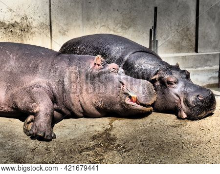 Hippos Lie And Sleep. Male And Female Hippos, Married Couple. The Animal Has Bared Its Fangs And Dro