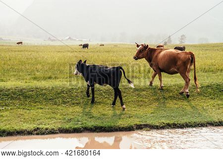 Calves And Cows Grazing Near Puddle On Dirt Road In Mountain Countryside. Scenic Green Mountain Land