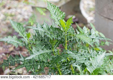 Thistleplike Plant