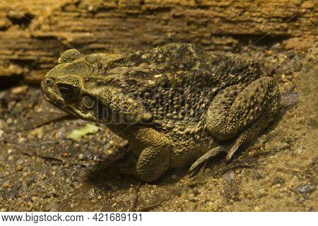 Cane Toad,  Giant Neotropical Toad, Marine Toad (rhinella Marina).