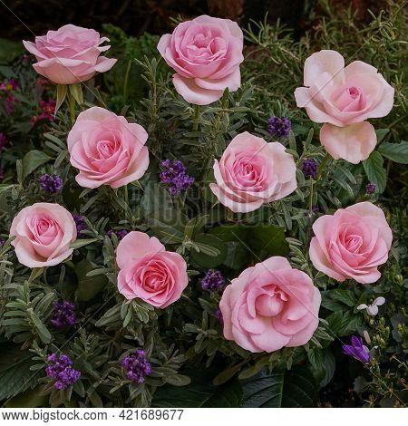 Beautiful Rose Flower In The Garden. Rose Flower Background. Roses Flower Texture. Rose Flowers On T