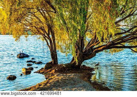Magnificent sprawling tree by the lake Taupo. Quiet evening on the lake. Magnificent sunset.  Taupo is the largest lake in New Zealand, North Island.