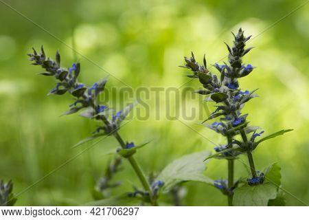 Ajuga. Sage Blue. Ajuga Reptans, Or Carpet Horn, Is A Blue-flowered Perennial Plant That Grows In Me