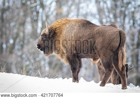European Bison With Fluffy Fur Standing In Snow In Wintertime