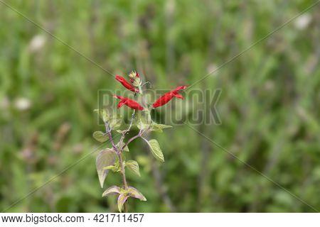 Pineapple Sage Red Flowers - Latin Name - Salvia Elegans