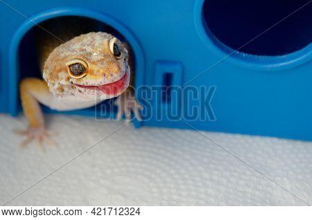 Concept Of Keeping Lizard At Home. Lizard Shows Its Tongue. Funny Pets. Adult Eublefar Lizard Licks