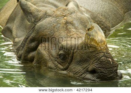 Indian Rhinoceros  Cincinnati Zoo