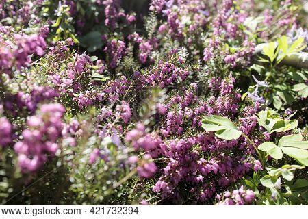 Calluna Vulgaris, Common Heather, Ling, Or Simply Heather, Is The Sole Species In The Genus Calluna
