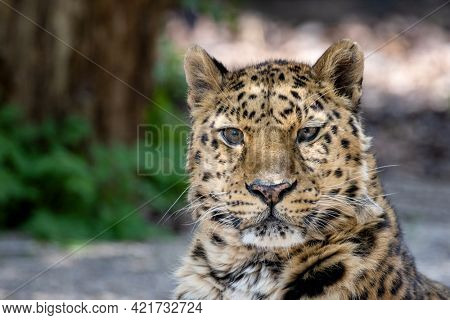 Adult Amur leopard, Panthera pardus orientalis, close up portrait. One of the rarest wild cats in the world and critically endangered, with only around 100 cats left in the wild.