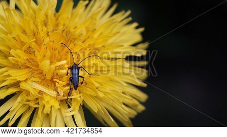 An image of a musk beetle on a dandelion flower