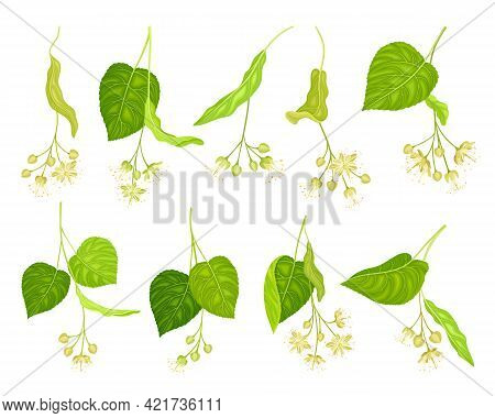 Linden Or Tilia Specie With Green Cordate Leaves And Fragrant Yellowish-white Flowers Vector Set
