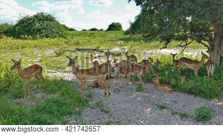 A Group Of Impala Antelopes Rests In The Savannah, In The Shade Of A Tree. Around Green Grass, Bushe