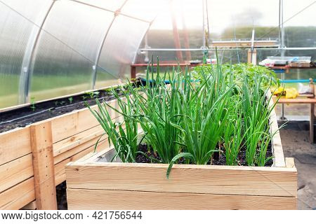 Diy Wooden Pallet With Riased Garden Bed And Growing Green Fresh Organic Homegrown Scallions And Veg