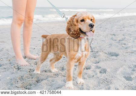 Cute Pets Dog Walking On Sandy Beach. Concept Of Fun Pastime With Dog In Summertime