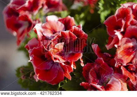 Pink Geranium Pelargonium In Greenhouse Of Botanical Garden. Selective Focus.