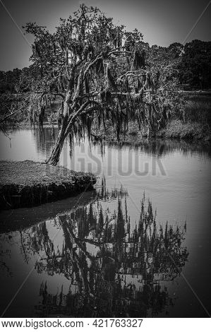 Black And White Artsy View Of A Small Florida Oak Tree With Spanish Moss Draped On Its Branches Lean