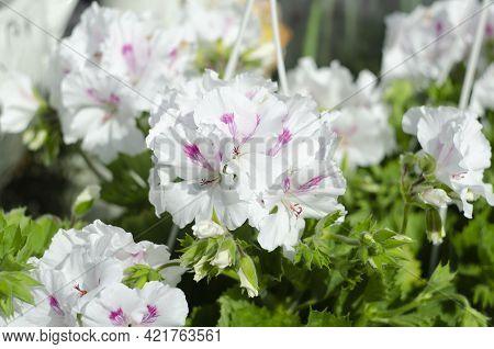 White Geranium Pelargonium In Greenhouse Of Botanical Garden.