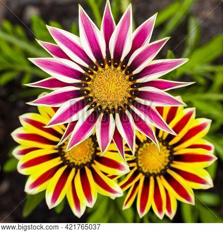 A Trio Of Gazania Flowers In Various Shades Of Orange