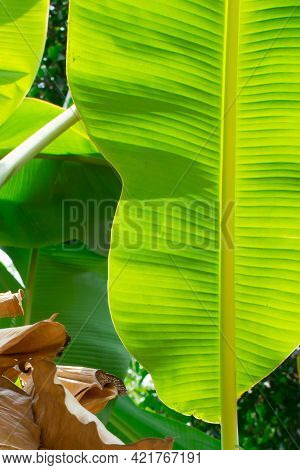 Banana Leaves. Texture Of Banana Leaf With Green Color
