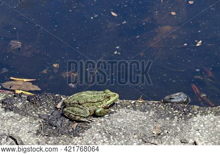 A Green Frog Or Wound, An Amphibian, Heats Up In The Sun Near A Lake In The Park, Sofia, Bulgaria