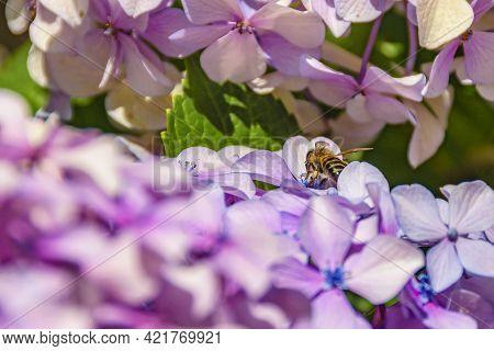 Bee At Violet Flowers