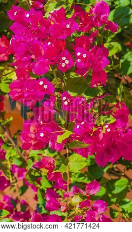 Bougainvillea Pink Flowers Blossoms On Trees Playa Del Carmen Mexico.