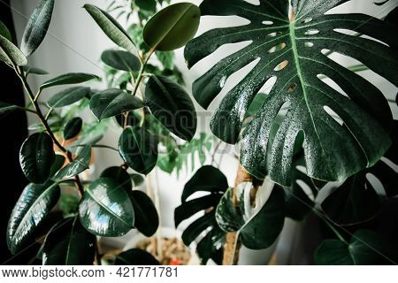 wet home plants after spraying close-up