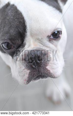Dog Or French Bulldog, Unaware French Bulldog