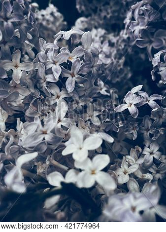 Beautiful Lilac Blossom. Flower Background With Soft Focus.