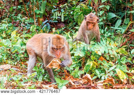 Monkey Son Looks At The Monkey Mother As She Eats A Dry Leaf In The Grass. Animal Life In The Wild.