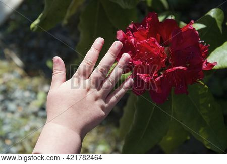 Childrens Hands Are Touching Flowers, The Red Rhododendron, Light And Shadow, Contrast
