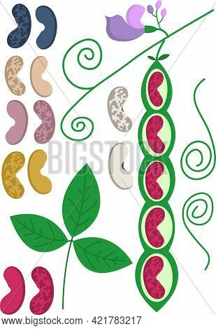 Vector Set - Haricot With Flowers And Beans Of Different Colors
