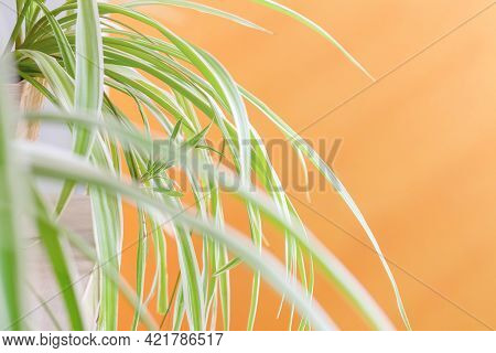 Spider Plant (chlorophytum Comosum) On The Balcony With Orange Wall. Decorative Houseplant With Long