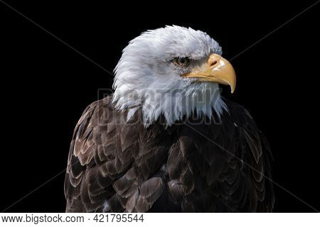 Portrait Of An American Male Bald Eagle Isolated On Black Background