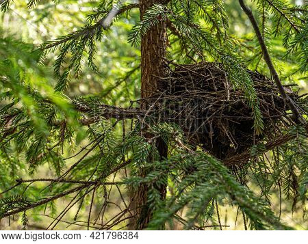 Birds Nest Of Branches In The Forest On A Tree. Ravens Nest In The Forest