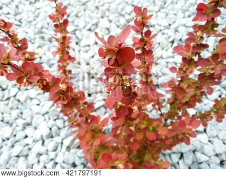 Thunberg Barberry With Red Leaves And Yellow Flowers On Blurred Background Of Gray Gravel. Flowering