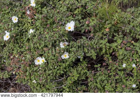 A Useful, Therapeutic Shrub (cistus Salvifolius) Grows In A Pine Forest In The Mountains Close Up On