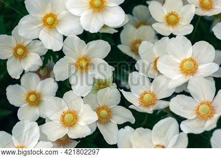 Snowdrop Windflowers High Angle View, Anemone Sylvestris White Flowers Background