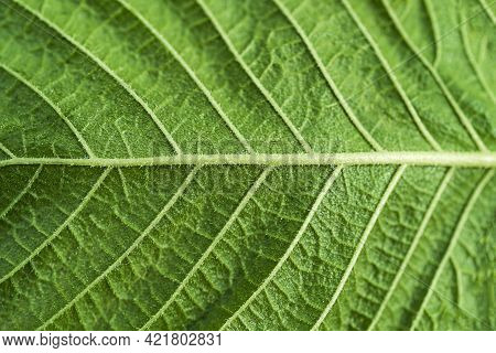 Texture Of Green Leaf With Veins In Close-up Shot
