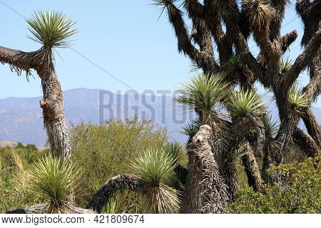 Joshua Trees On A High Desert Plateau Taken At A Chaparral Woodland In The Rural Mojave Desert, Ca