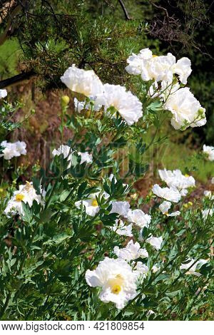 White Poppy Plant Flower Blossoms Taken On The Rural High Desert Plateau At A Chaparral Woodland In