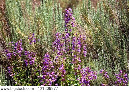 Sage Plants Besides Lupine Flowers During Spring On The Rural High Desert Plateau Taken At A Chaparr