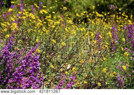 Chaparral Plants And Wildflowers During Spring On A Lush High Desert Plateau Taken At A Chaparral Wo