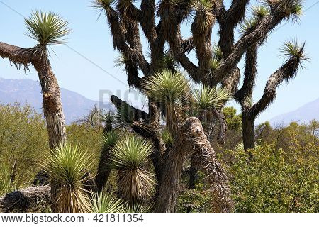 Joshua Trees On The Rural Southern California High Desert Plateau With The San Gabriel Mountains Bey