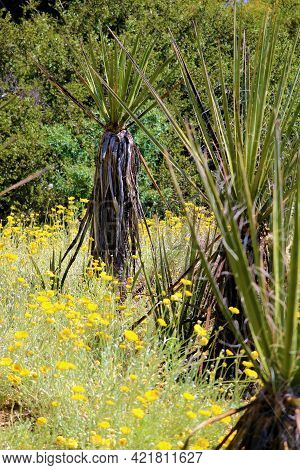 Chaparral Shrubs Including The Yucca Plant Surrounded By Spring Wildflowers On The Southern Californ