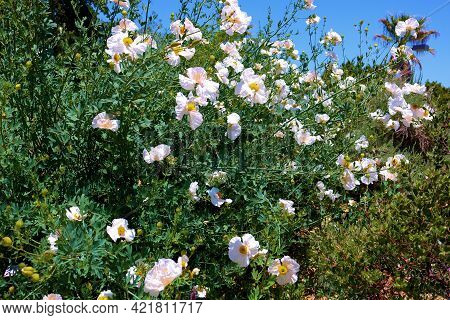 White Poppy Plant Flower Blossoms During Spring Taken On A High Desert Plateau At A Chaparral Woodla