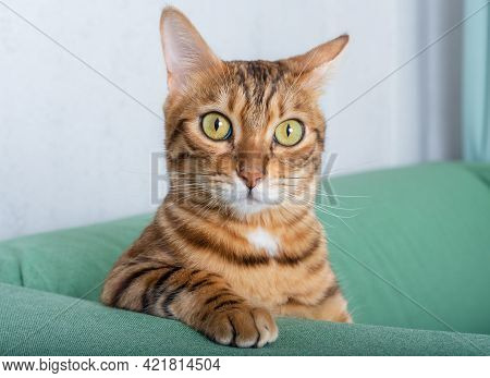 Bengal Cat Sits On A Green Sofa In The Room, Leaning On His Elbow