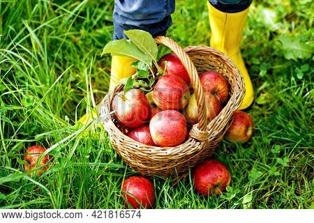 Closeup Of Basket With Red Apples And Rubber Boots On Little Kid, Boy Or Girl On Organic Farm, Autum