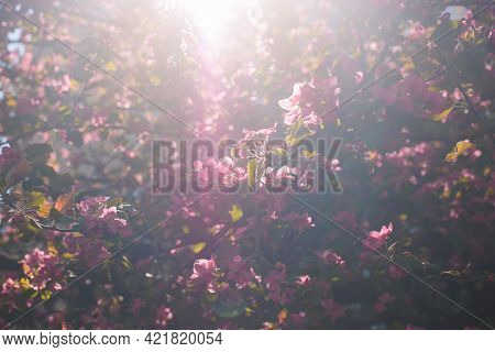Pink Flowers Of Cherry Tree. Blooming Garden In Spring Time. Sunbeam, Selective Soft Focus. Natural