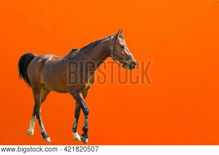 One Walking Horse On A Orange Background.a Brown Horse With Bridle.studio Shot.copy Space